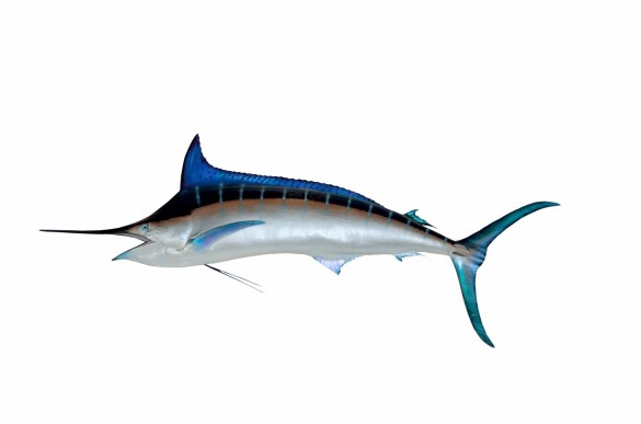 great-blue-marlin